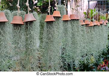 Tillandsia nosneoides en florería, Tailandia