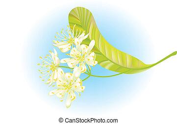 tilo, flowers., vector, illustration.