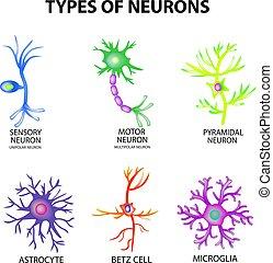 Tipos de neuronas. Sensores de estructura, neurona motora, astrocito, piromidal, células Betz, microglia. Listos. Infográficos. Ilustración de vectores en el fondo aislado