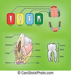 Tipos y estructura de vector de dientes