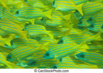 Todo el marco del shoal de pescado de rayas azules