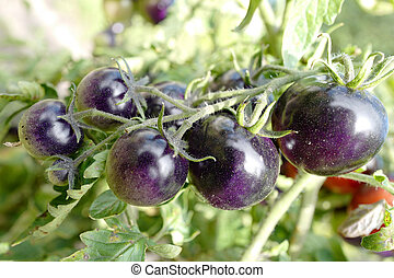 tomates, maduro, violeta