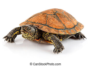 Tortoise animal doméstico aislado en blanco