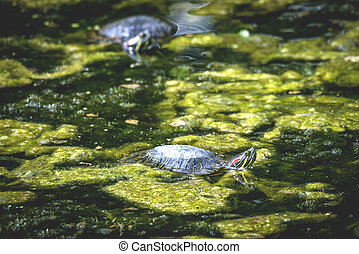 Tortuga en un pantano con algas verdes