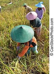 Trabajador de campo de arroz