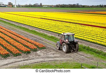 Tractor en el campo de tulipanes
