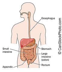 Tractos gastrointestinales y hígado