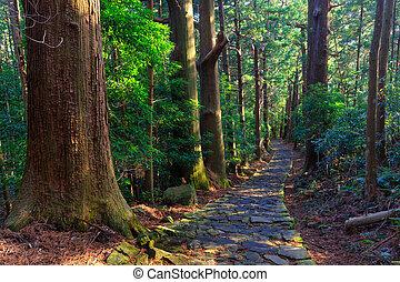 Trail in gigante ciprés forestal