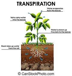 transpiration, actuación, planta, diagrama