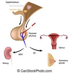 trasero, pituitario, hormona
