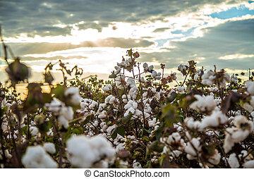 Trasfondo de textura de la plantación de algodón