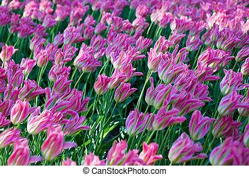 Trasfondo de tulipanes rosados