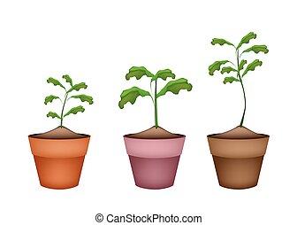 Tres árboles verdes en macetas de terracota