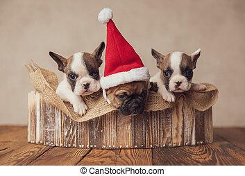 tres, bulldogs, lindo, precioso, navidad, celebrar, familia , perritos