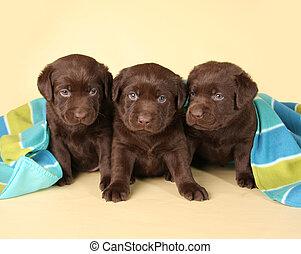 Tres cachorros de laboratorio