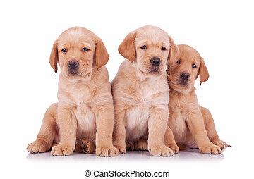 Tres cachorros de labrador sentados