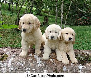 Tres cachorros de oro