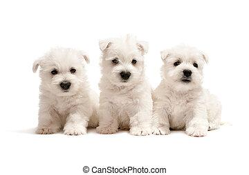 Tres cachorros de terrier blanco del oeste