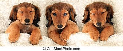 Tres cachorros salchicha