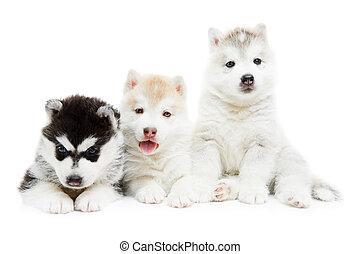 Tres cachorros siberianos