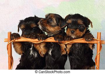 Tres cachorros terrier de Yorkshire