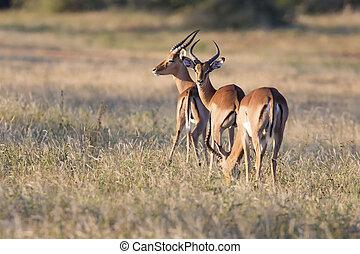 Tres carneros de impala se alimentan de una sabana pastosa