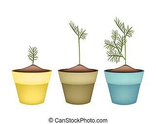 Tres dills verdes en macetas de terracota
