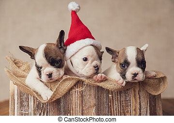 tres, juntos, navidad, celebrar, adorable, perritos