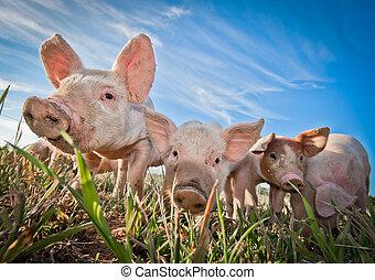 Tres pequeños cerdos parados sobre una granja de cerdos