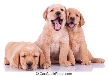 Tres perritos labrador