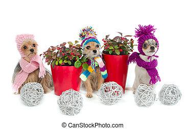 Tres perros chihuahua con artículos de Navidad