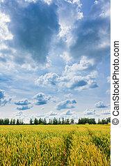 trigo, cielo, nublado, orejas