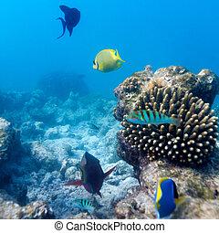 tropical, ecosistema, coral, maldivas, arrecife