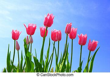 Tulipán rosado y cielo azul