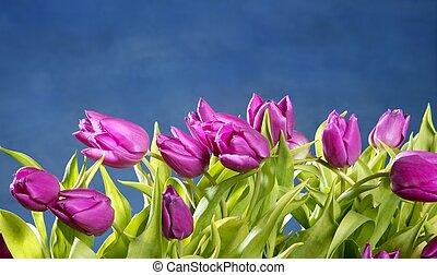 Tulipanes flores rosas en el fondo del estudio azul