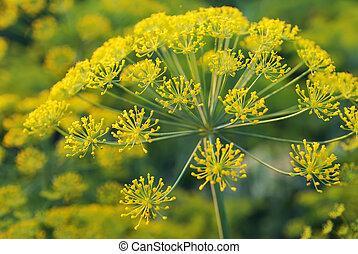 umbelliferous, planta, dill., eurasiático, aromático