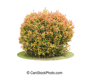 Un arbusto colorido del árbol de Pigeon Berry aislado sobre el fondo blanco