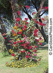 Un arbusto de Bougainvillea creciendo