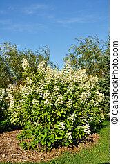 Un arbusto de hortensia