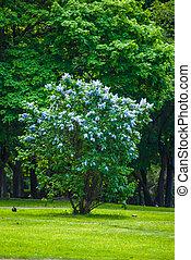 Un arbusto de lila azul
