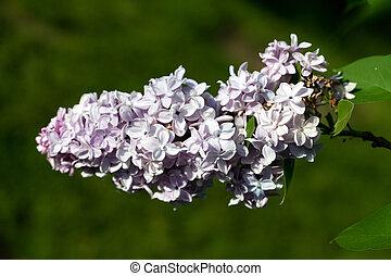 Un arbusto de lila en el jardín de primavera