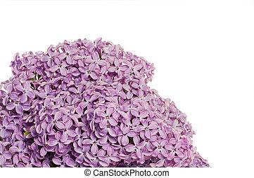 Un arbusto de lila
