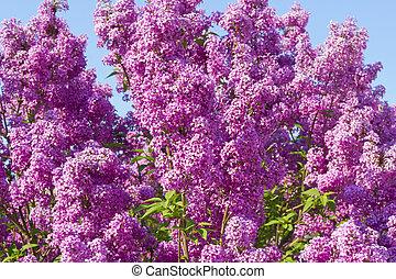 Un arbusto de lilas contra el cielo azul
