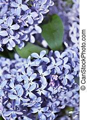 Un arbusto de lilas.