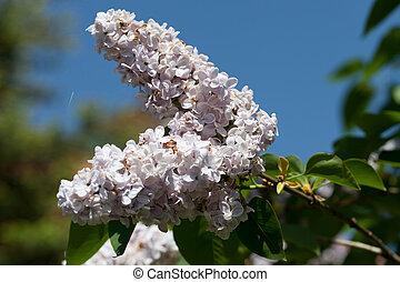 Un arbusto de lilas fragante en el jardín de primavera