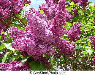 Un arbusto de lilas púrpura