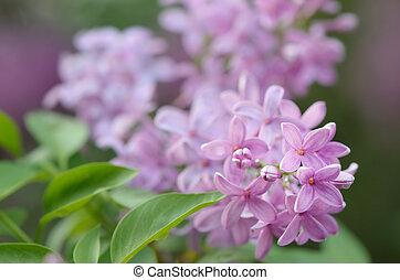 Un arbusto de lilas