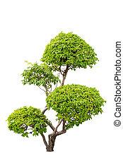 Un arbusto de plantas ornamentales de bougainvilleas aisladas sobre el fondo blanco