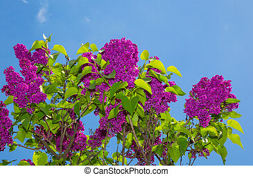Un arbusto lila