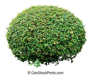Un arbusto ornamental